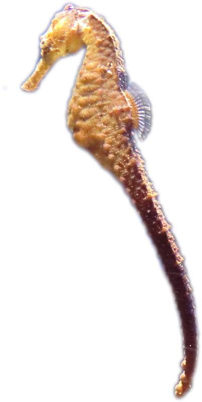 タツノオトシゴの画像 p1_4